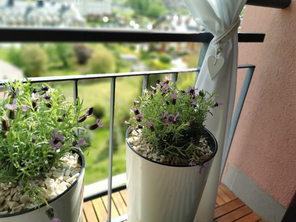 lawenda w donicy na balkonie