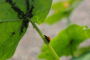 Mszyce na kwiatach – domowe sposoby na pozbycie się szkodnika