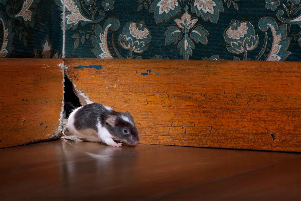 Myszy w domu. Jak skutecznie sobie z nimi poradzić?
